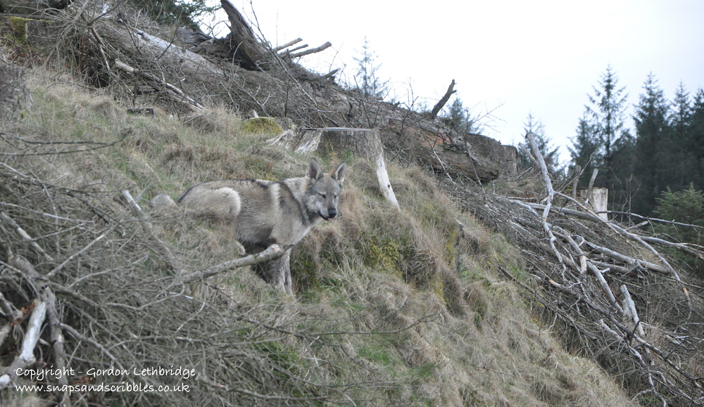 North American Timber Wolf on a Lakeland Fell