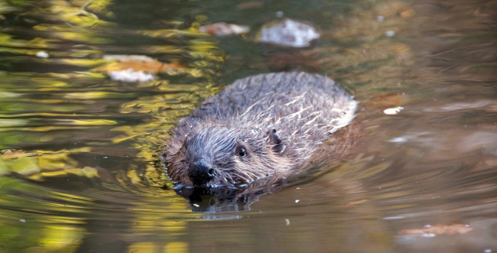Beaver swimming © Mariya Kondratyeva - source: www.depositphotos.com