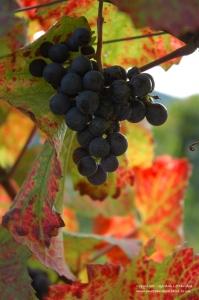 Grapes in the Wachau, Danube