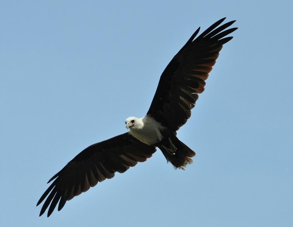 White-bellied sea eagle - Haliaeetus leucogaster