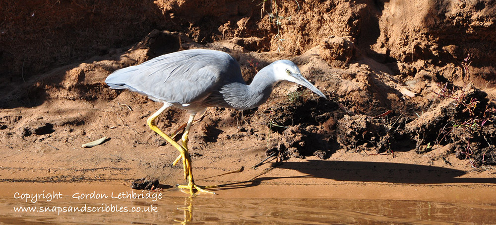 A white-faced heron carries on fishing; the birds totally ignored the canoe