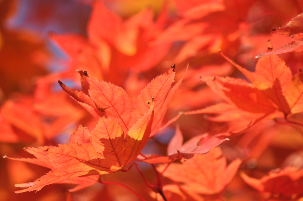 The stunning colours of the Japanese Maple (or Acer) are the stars of the show © Gordon Lethbridge