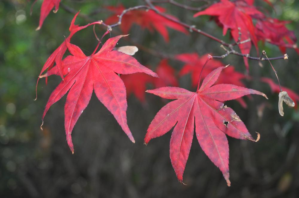 Japanese Maple (aka Acer) - © Gordon Lethbridge