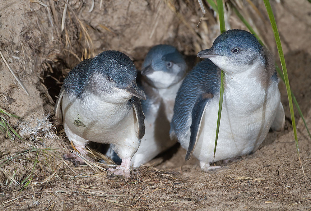 Little Penguins (aka Blue Penguins) By JJ Harrison (jjharrison89@facebook.com) - Own work, CC BY-SA 3.0, https://commons.wikimedia.org/w/index.php?curid=12200808