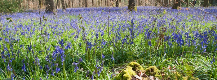 Hampshire Unpacked: Bluebell Woods