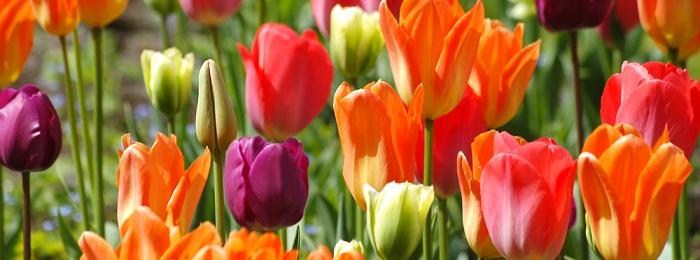Keukenhof, home of the tulip