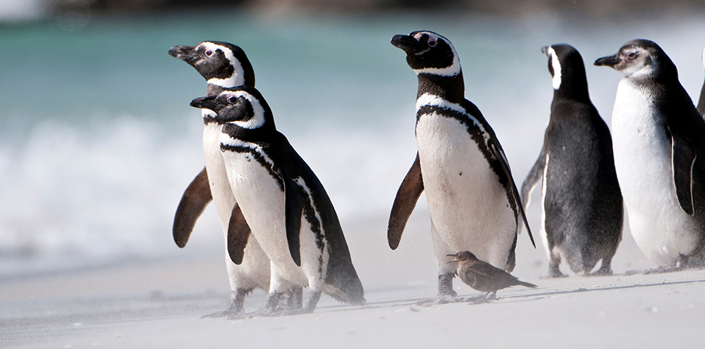 Magellanic Penguins www.alamy.com