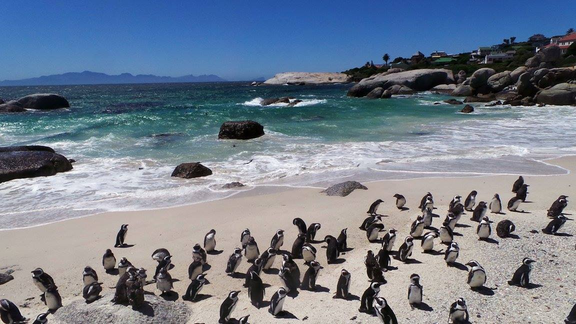 African Penguins at Boulder Beach, South Africa © Rebecca Thomas