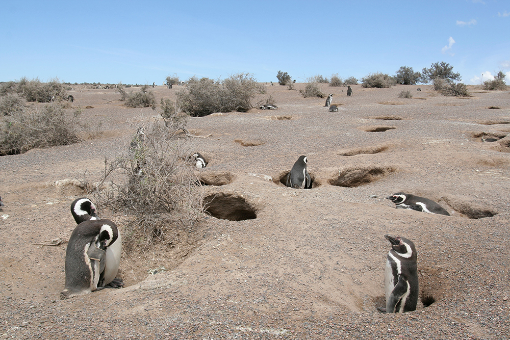 One of the best places to see the Magellanic Penguins is Punta Tombo, Agentina www.alamy.com
