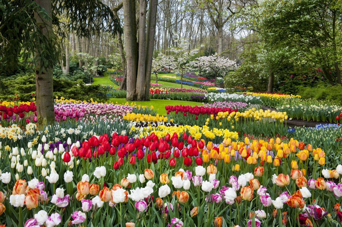 Masses of tulips in the gardens of Keukenhof