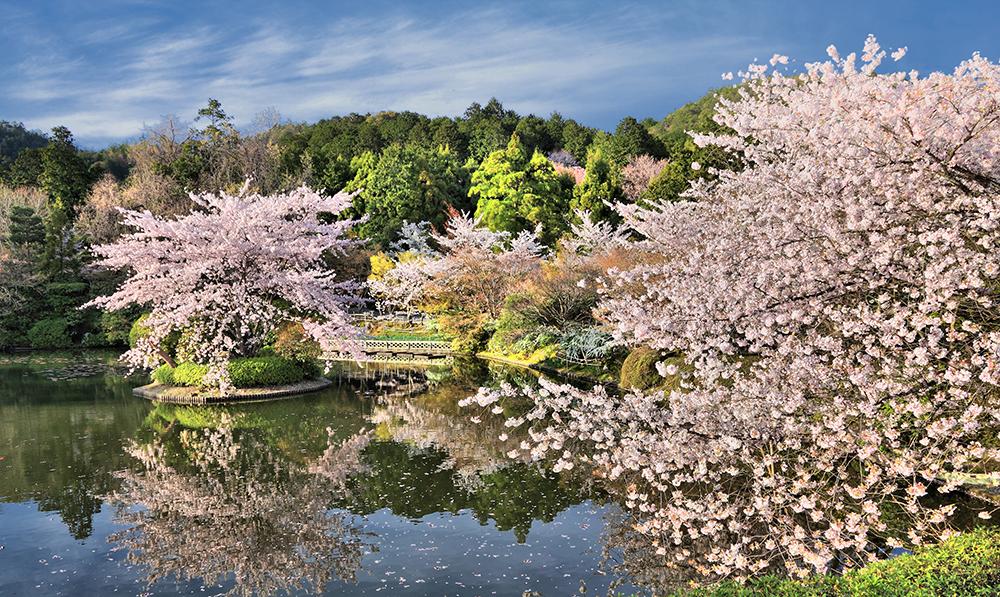 Cherry blossoms in Ryoanji Temple Gardens, Kyoto