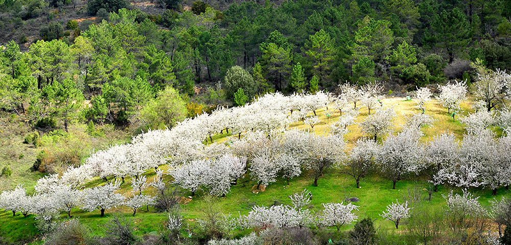 Cherry blossom in the Jerte Valley, Spain.