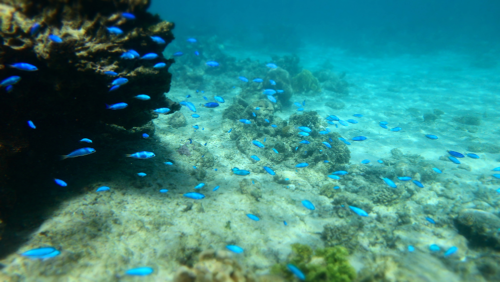 Blue fish around coral reef