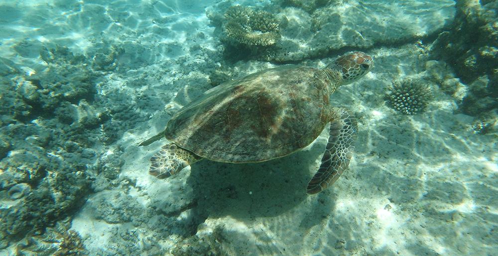 Ningaloo turtle